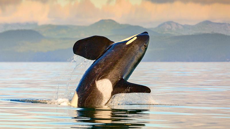 Observação de baleias ao pôr do sol em Victoria