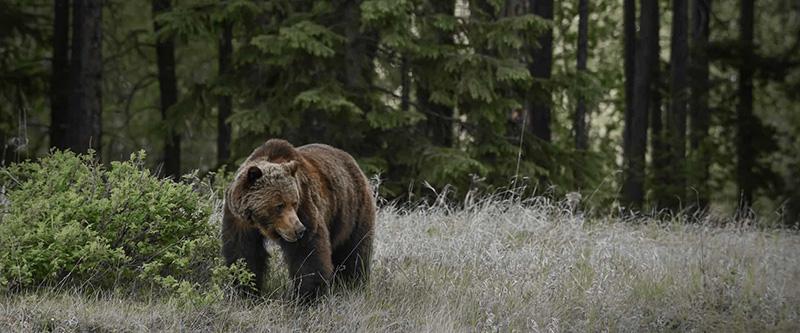Urso no Parque Nacional em Jasper